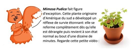 mimosa2