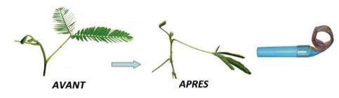 La Mimosa Pudica avant et après qu'on l'a dérangée, source : Kanzawa Lab
