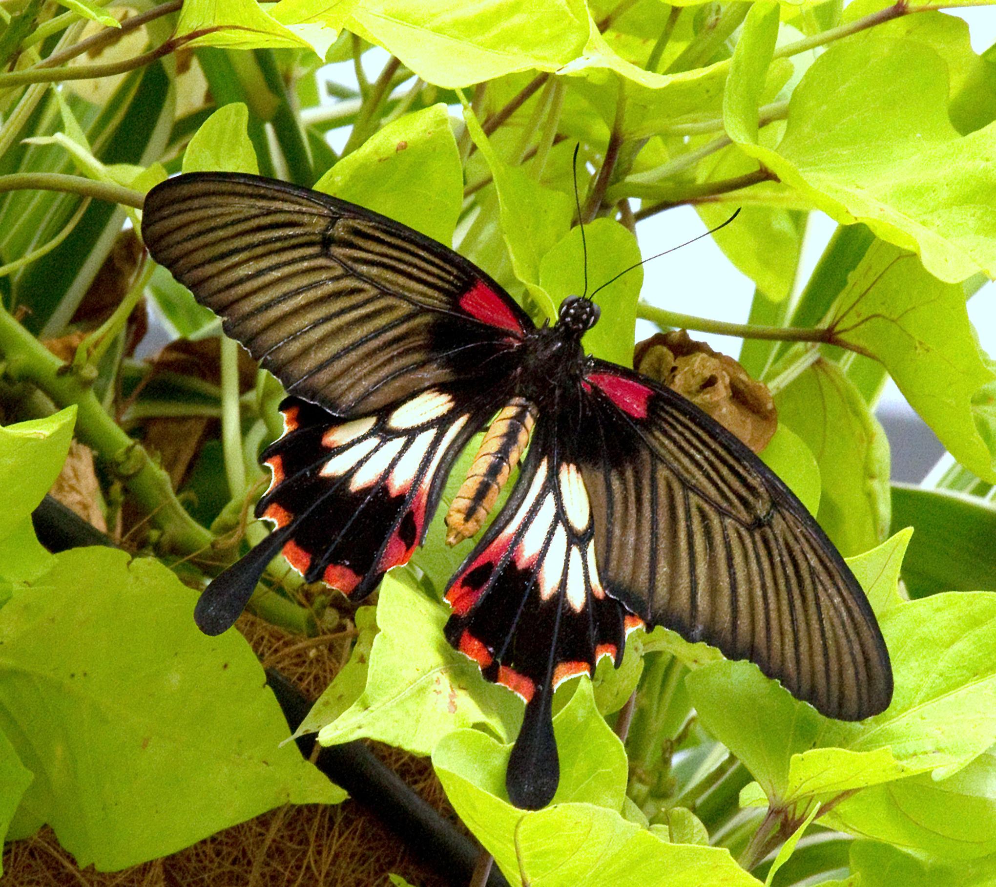 Femelle du Papilio Lowi aussi appelé « Great Yellow Mormon »