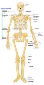 Human_skeleton_front_fr