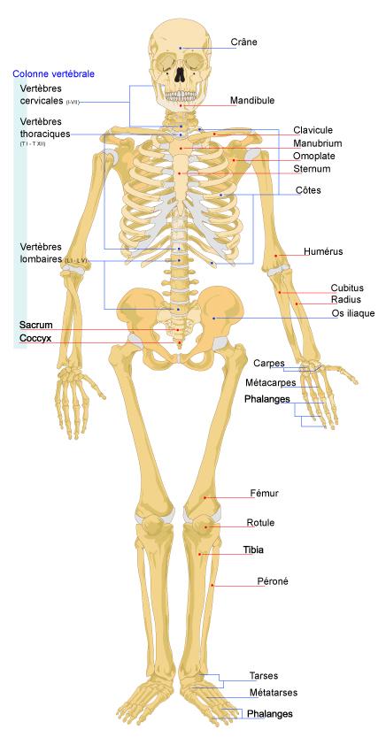 les du corps humain