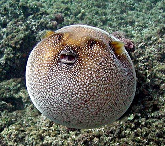 2fd85ba050d09b91_Puffer_Fish_Pictures_C