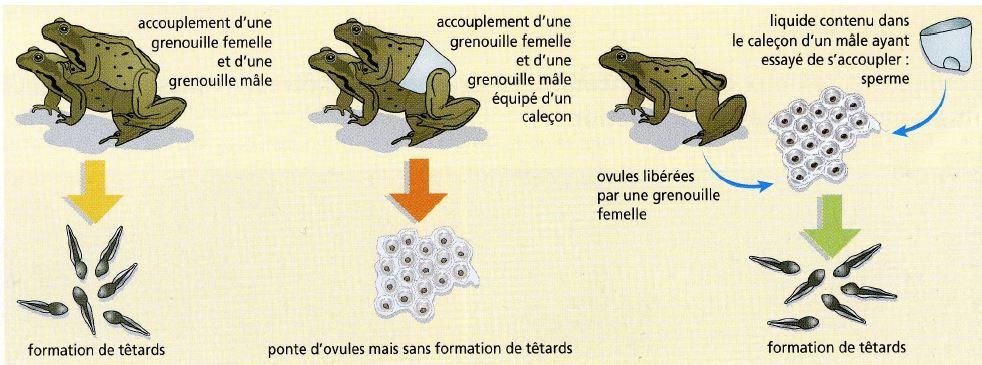 Spallanzani grenouilles