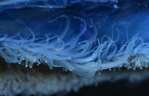 velelle_tentacules-300x195