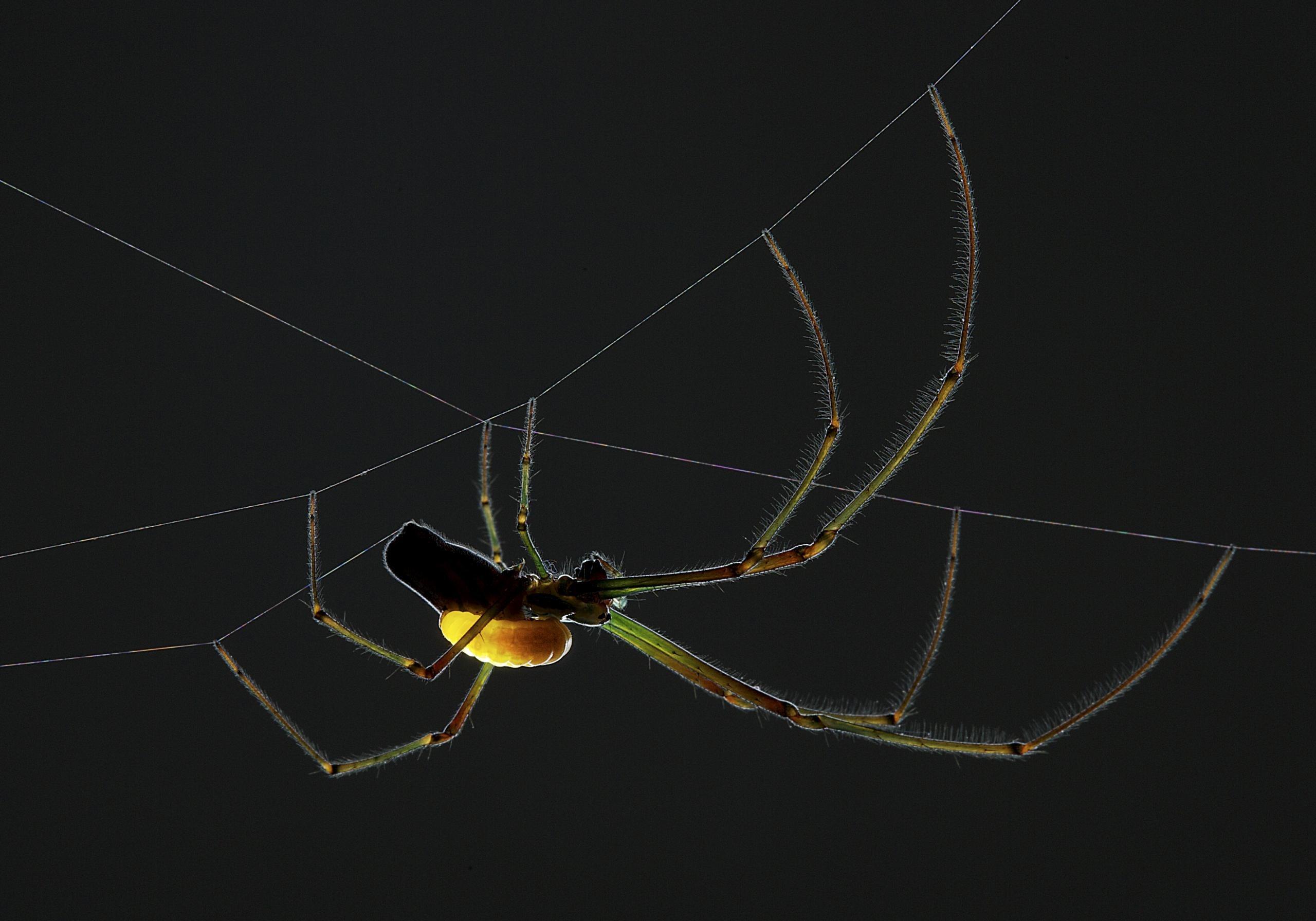 araignee-et-sa-larve-de-guepe-parasitaire-anand-varma