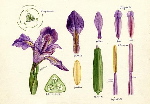 Kidi 39 science - Coloriage fleur iris ...